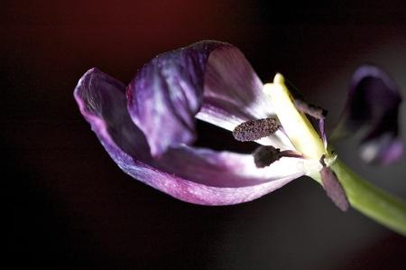 tulip stamen of wilted flower.