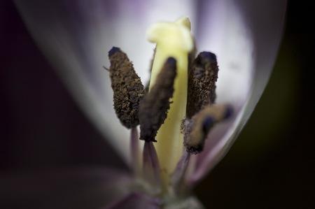 macro shot of tulip stamen.