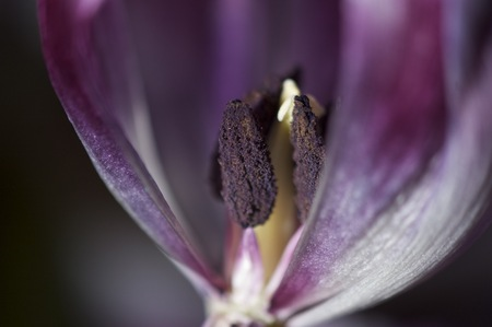 Tulip cros section