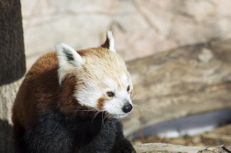 rode panda in de zon