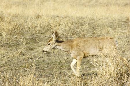 fawn: fawn in grass Stock Photo