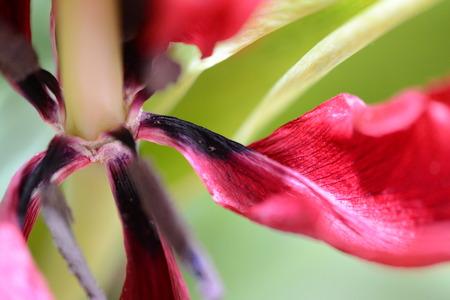 tulp bloemblad Stockfoto