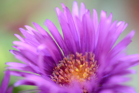 macro of purple flower Stockfoto