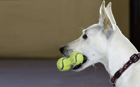 Closeup of a white dog with a toy of tennis balls in the mouth  Stock Photo - 17173679