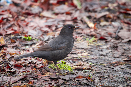 Black bird on the ground in the forest in autumn day Stock Photo