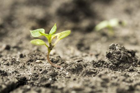 germinaci�n: el crecimiento de germinaci�n de las semillas en el bosque Foto de archivo