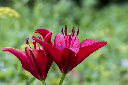 daylily: Crimson colored daylily covered in raindrops Stock Photo