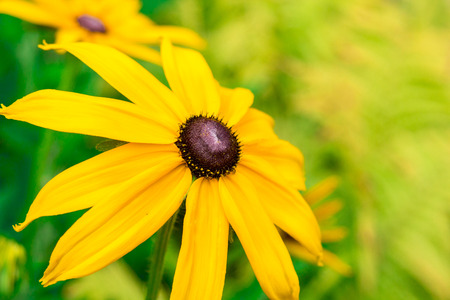 susan: Bright yellow rudbeckia or Black Eyed Susan flowers in the garden