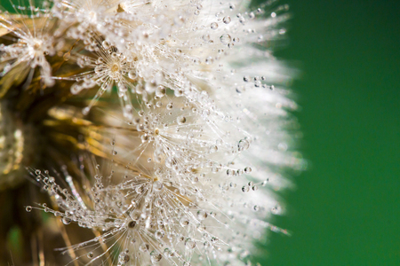 Dandelion abstract background. Shallow depth of field. Macro