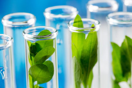 Green fresh plants grown up in test tubes in laboratory.