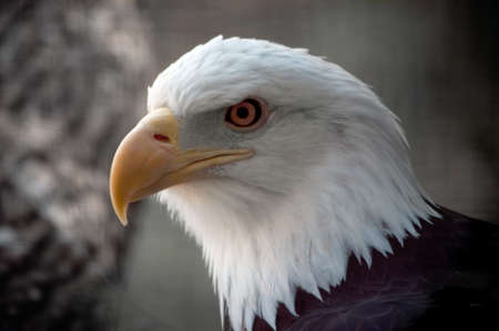 The national bird of the United States Of America, the majestic bald eagle. Stock Photo - 446746