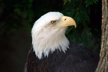 The national bird of the United States Of America, the majestic bald eagle. Seen in a natural tree setting. Stock Photo - 446744