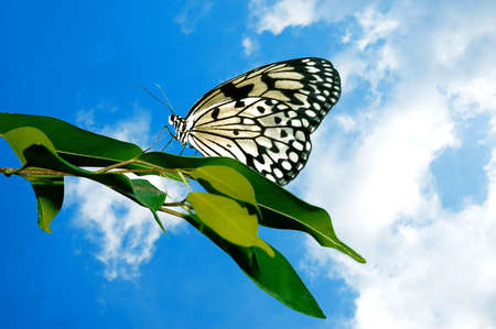 Beautiful butterfly perched on a leaf with a puffy white cloud background.