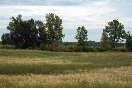 cattails: Wetlands in northwest Ohio. This special habitat is perfect for birds and reptiles.