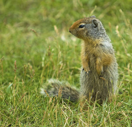 canmore: The Columbian Ground Squirrel. Seen in western Canada Stock Photo
