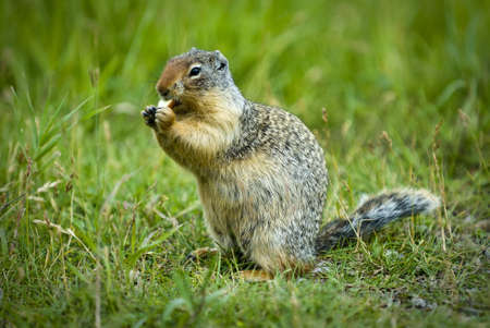 canmore: The Colombian Ground Squirrel. Seen in western Canada