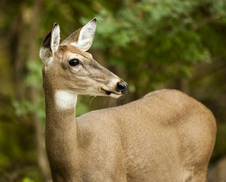 white tailed deer: Close up of a white-tailed deer  Seen in Sidecut Metropark in Toledo Ohio