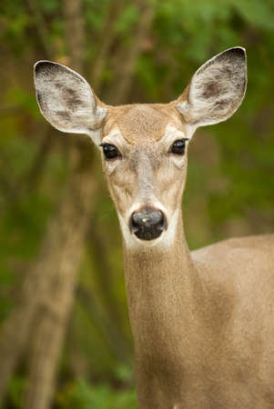 Close up of a white-tailed deer  Seen in Sidecut Metropark in Toledo Ohio