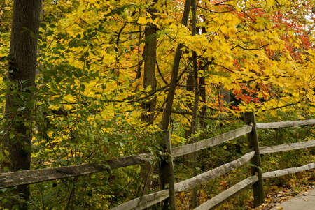 split rail: Beautiful red,orange and yellows colors of autumn along a split rail fence