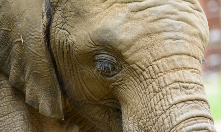 Close up photo of an African Elephant showing it s eye Zdjęcie Seryjne