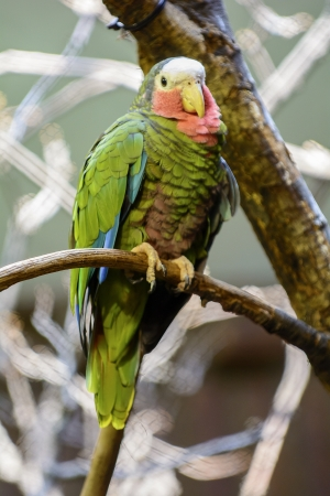 Closeup photo of a beautiful and colorful Cuban Amazon Parrot perched on a tree branch  Banco de Imagens