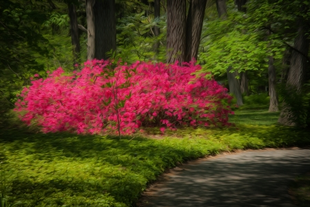 Beautiful manicured garden with a path lined with blooming pink azalea bushes