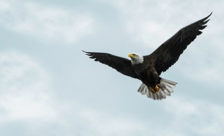 Photo of a Bald Eagle in flight against a beautiful partly cloudy sky