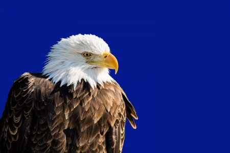Photo of a majestic Bald Eagle perched in a tree  The National bird of the United States of America
