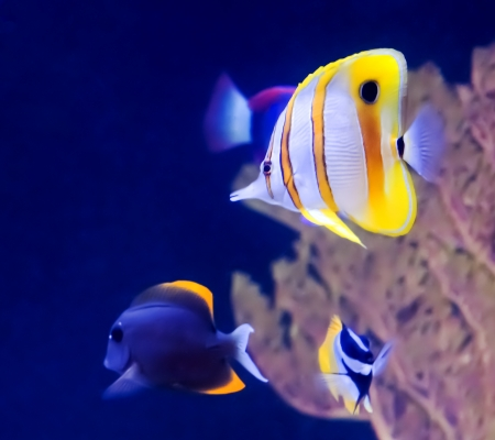 Copperband Butterfly Fish and other tropical fish in an aquarium.