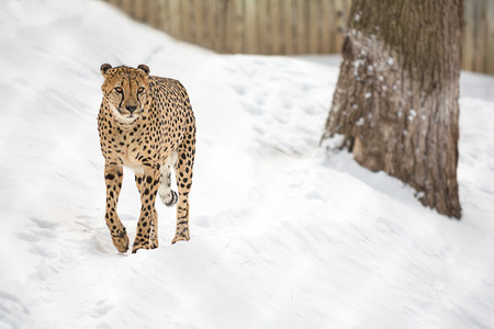 A Cheetah walking in a snow covered field