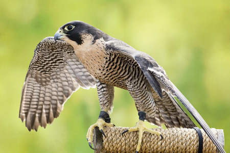 The largest falcon over most of the North American continent, with long, pointed wings and a long tail