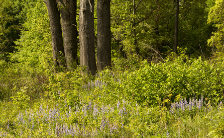 A crop of wild blue lupine in a nature preserve in Ohio