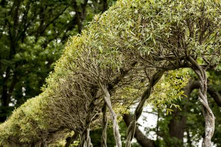 Wilg planten trimed een interessante hedge met kronkelende stammen vormen.