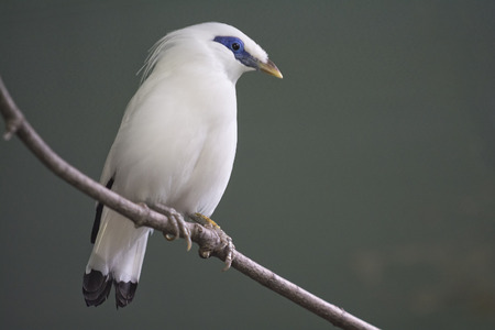 This Critically Endangered species is the national symbol of the Island of Bali. This beautiful bird has been discovered in 1912. The Bali myna (Leucopsar rothschildi), also known as Rothschild
