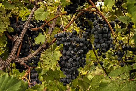 Bossen van rijpe druiven die op de wijnstok bij een wijngaard hangen.