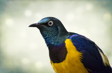 The golden-breasted starling (Lamprotornis regius), also known as royal starling, is a medium-sized, up to 35 cm long, passerine in the starling family. The adult has a metallic green head and upper back, bright golden yellow breast and belly, dark bill a