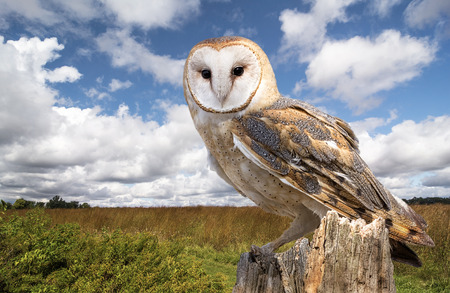 A barn owl perched on a dead tree stump in a meadow.