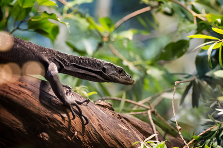 Close up of a black tree monitor. Black tree monitors live in moist forests and mangroves on Aru Island, Papua New Guinea. The black tree monitor grows to be 3 to 4 feet long.