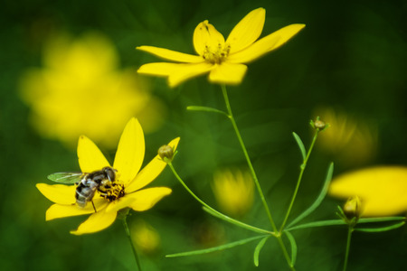 Beautiful photo of a blooming yellow Coreopsis flowers with a bee pollinating them. Фото со стока