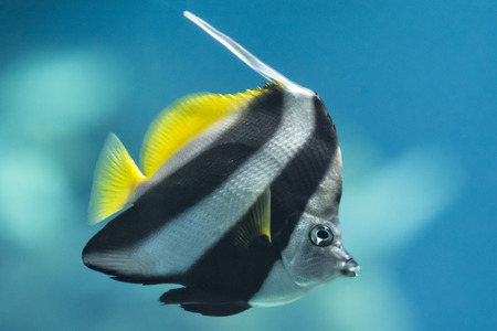 A colorful Schooling Bannerfish. Scientific Name: Heniochus diphreutes. Also known as False moorish idol, Pennantfish, Pennant Butterfly fish. Native to areas near Africa.