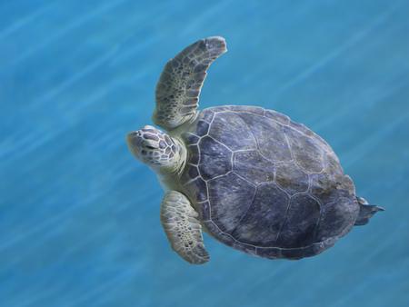 Una natación de la tortuga de mar verde hermoso y agraciado en el agua azul.