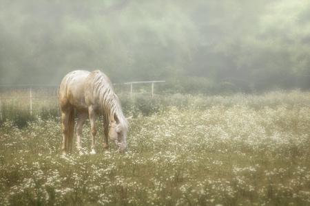 Photo of a beautiful white horse grazing in a pasture filled with white wildflowers with a foggy atmosphere.