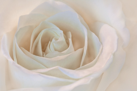 A beautiful close up of a white rose with a slight pink tint. Great romantic symbol for love. 免版税图像