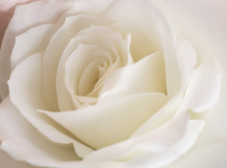 A beautiful closeup photo of a soft white rose.