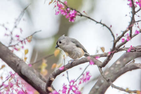 Close up photo of a Tufted Titmouse bird perched on a blooming red bud tree branch.