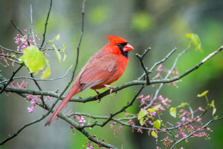 Close up photo of a Northern Cardinal bird perched on a blooming red bud tree branch.