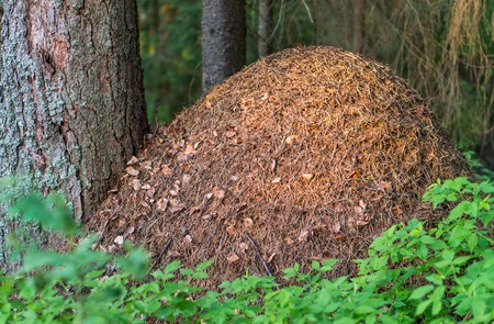 Huge anthill in the forest