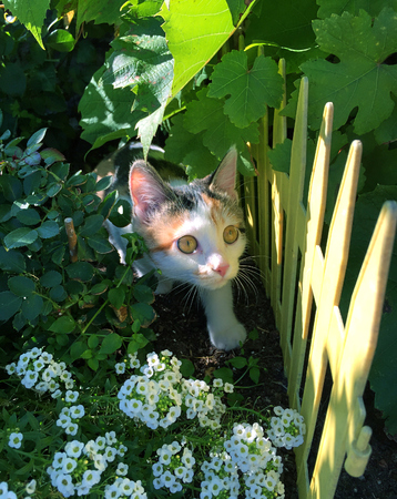 Small multi colored kitten looking curiously from the bushes Standard-Bild