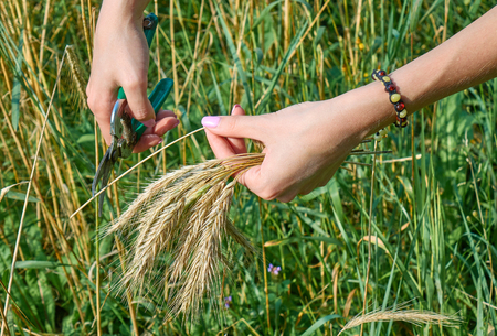 Hands of a young woman gathering and cutting wheat on the field Standard-Bild