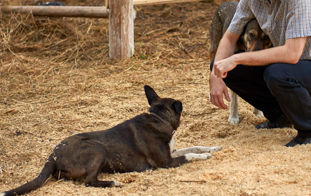 Young farmer sitting on the sawdust hugging one of his big shepherd dogs while another dog is resting nearby